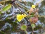 ミミカキグサ 2013-10-5 豊橋の湿原