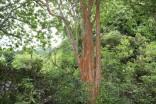 IMG_4878バクチの木