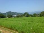 シモバシラ2014-9-30 085