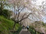 2015-4-11幸田・稲武・川向の桜と桃の花 066