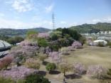 2015-4-11幸田・稲武・川向の桜と桃の花 033