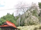 2015-4-11幸田・稲武・川向の桜と桃の花 114