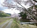 2015-4-11幸田・稲武・川向の桜と桃の花 146