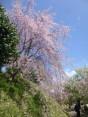 2015-4-11幸田・稲武・川向の桜と桃の花 047