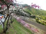 2015-4-11幸田・稲武・川向の桜と桃の花 206