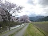 2015-4-11幸田・稲武・川向の桜と桃の花 147