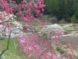 2015-4-11幸田・稲武・川向の桜と桃の花 205