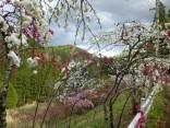 2015-4-11幸田・稲武・川向の桜と桃の花 214