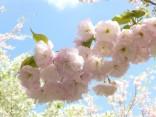 2015-4-11幸田・稲武・川向の桜と桃の花 055