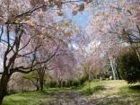 2015-4-11幸田・稲武・川向の桜と桃の花 061