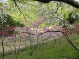 2015-4-11幸田・稲武・川向の桜と桃の花 203
