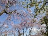 2015-4-11幸田・稲武・川向の桜と桃の花 041