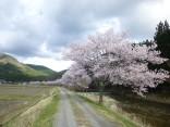 2015-4-11幸田・稲武・川向の桜と桃の花 152