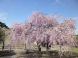 2015-4-11幸田・稲武・川向の桜と桃の花 023