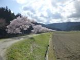 2015-4-11幸田・稲武・川向の桜と桃の花 125