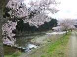 2015-4-11幸田・稲武・川向の桜と桃の花 137