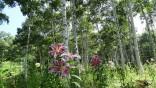 ユリ&白樺の木