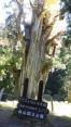 樹齢1800年の大杉