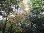 10-23吉祥山  柿の木の紅葉