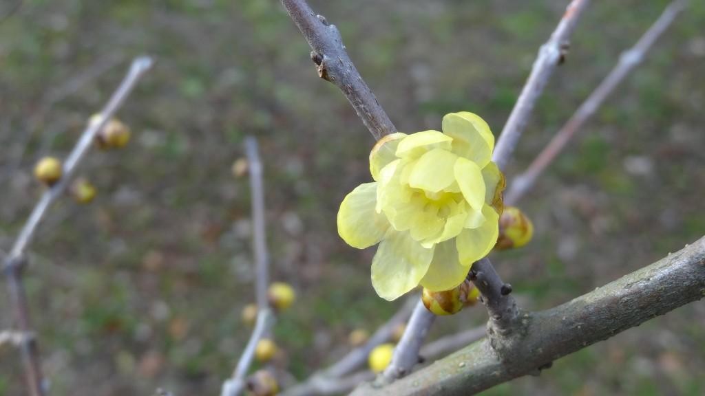 春を待つロ-バイDSC05318