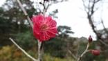 紅梅咲き始めましたDSC05320