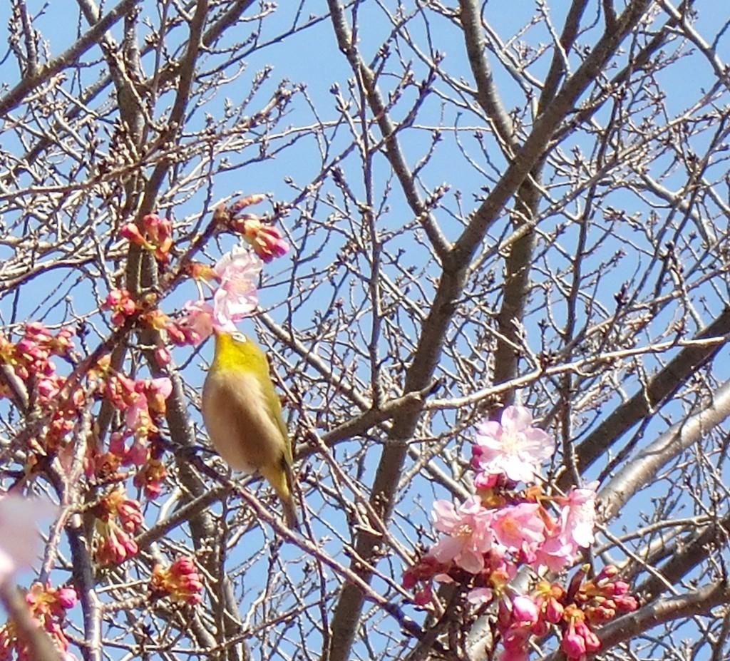 カワズ桜とメジロ